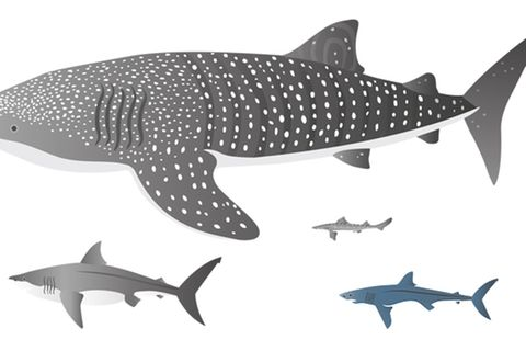 Haie: Fünf aus 500