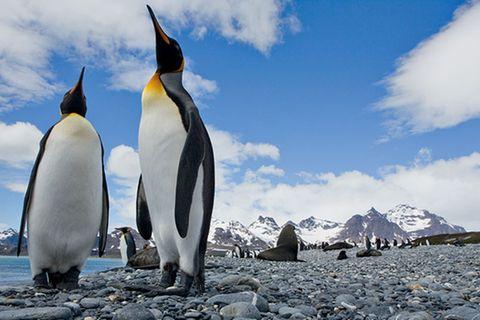 Tiere: Pinguine: Tauchende Vögel