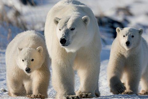 Eisbären: Eisbären: Räuber auf vier Pranken