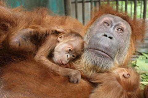 Orang-Utan-OP: Mama kann wieder sehen