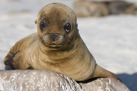 Tierkinder: Ein kleiner Seelöwe erkundet die Welt