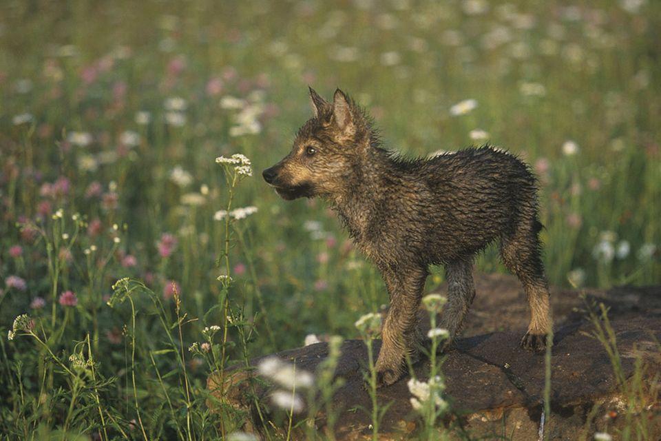 Tierkinder: Verspielte Wolfskinder