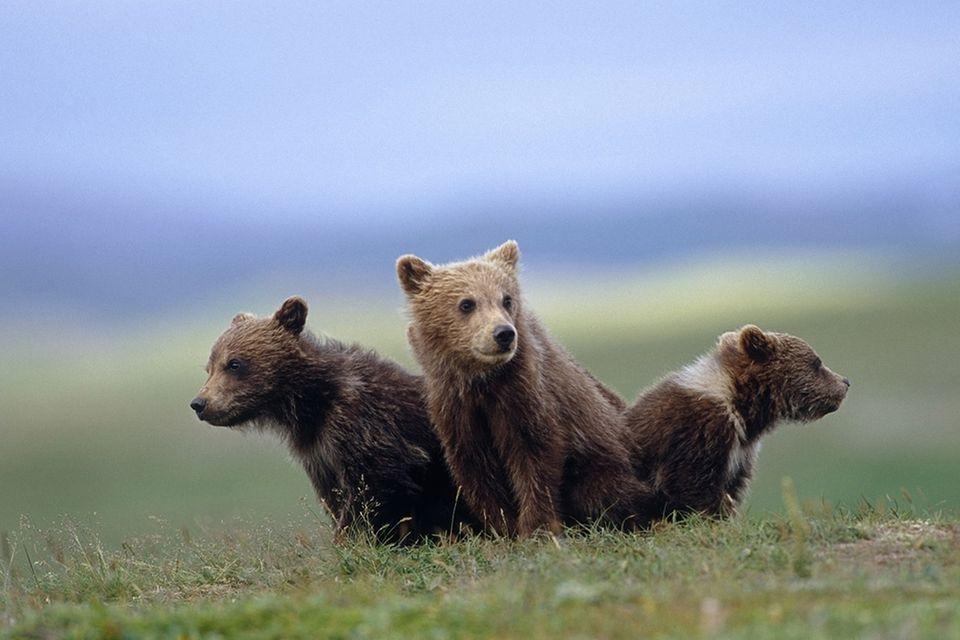 Tierkinder: Treue Bärenfamilie