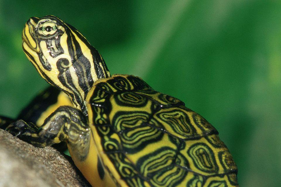 Tierkinder: Sumpfschildkröten