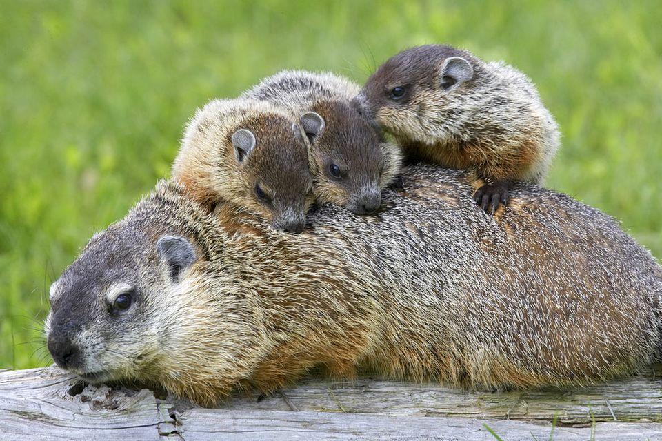 Tierkinder: Murmeltiere erblicken das Licht der Welt