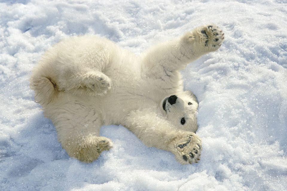 Tierkinder: Kleine Eisbären