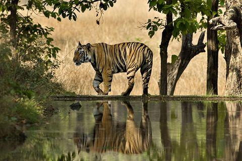 Artenschutz: Rettet den Tiger!