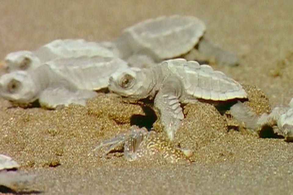 Meerestiere: Meeresschildkröten: Nomaden der Meere