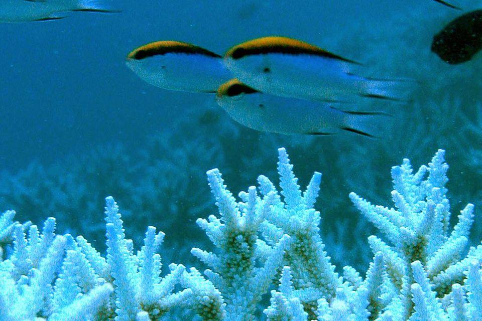 Klimawandel: Korallen im Stress