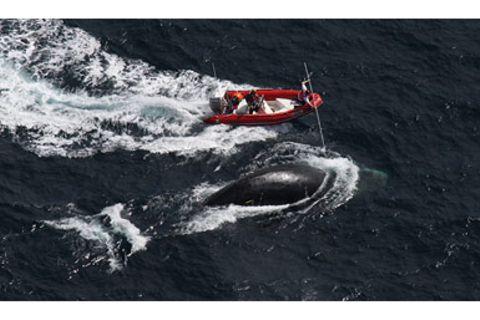 Tiere: Ein Wal in Seenot