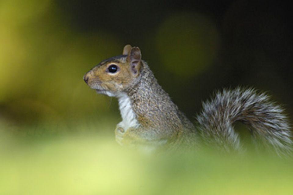 Eichhörnchen: Bald nur noch mit grauem Pelz?