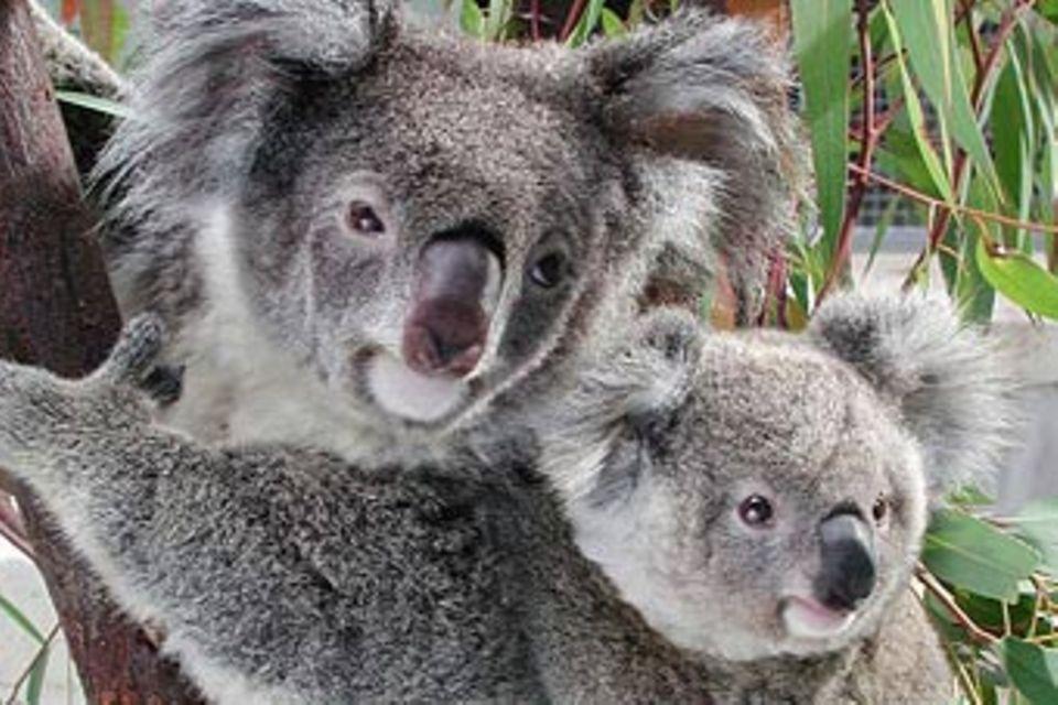 Tiere: Koalas: Waldbewohner mit Stammbaum