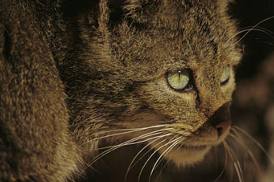 Tiere: Wildkatzen: unsichtbare Jäger