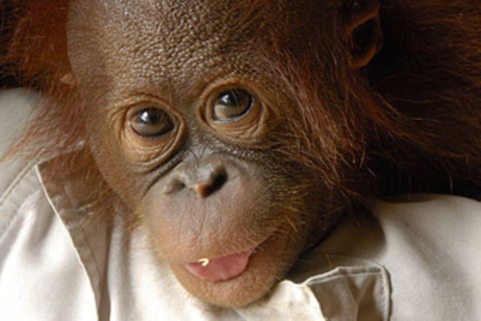 Affen: Orang-Utans: Menschen des Waldes