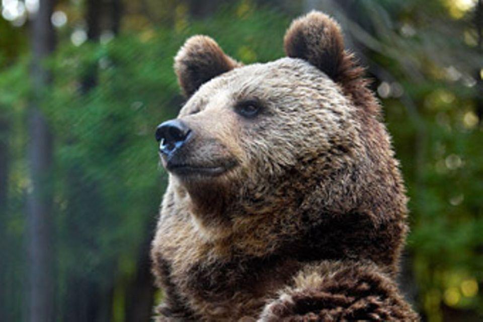 Unterschlupf für Braunbären