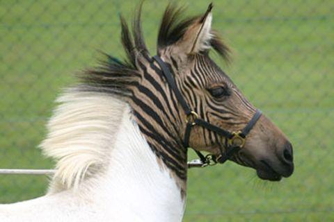 Wenn das Pferd mit dem Zebra