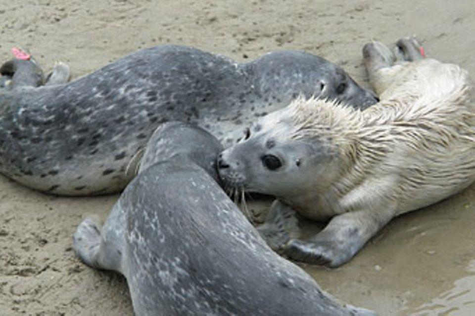 Heuler: Seehunde: Die Heuler von Friedrichskoog