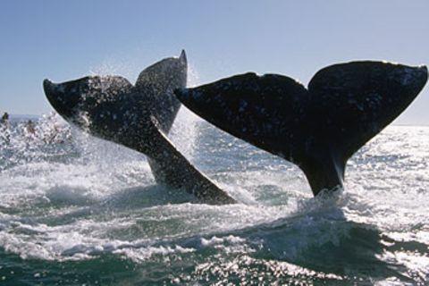 Die Reise der Grauwale