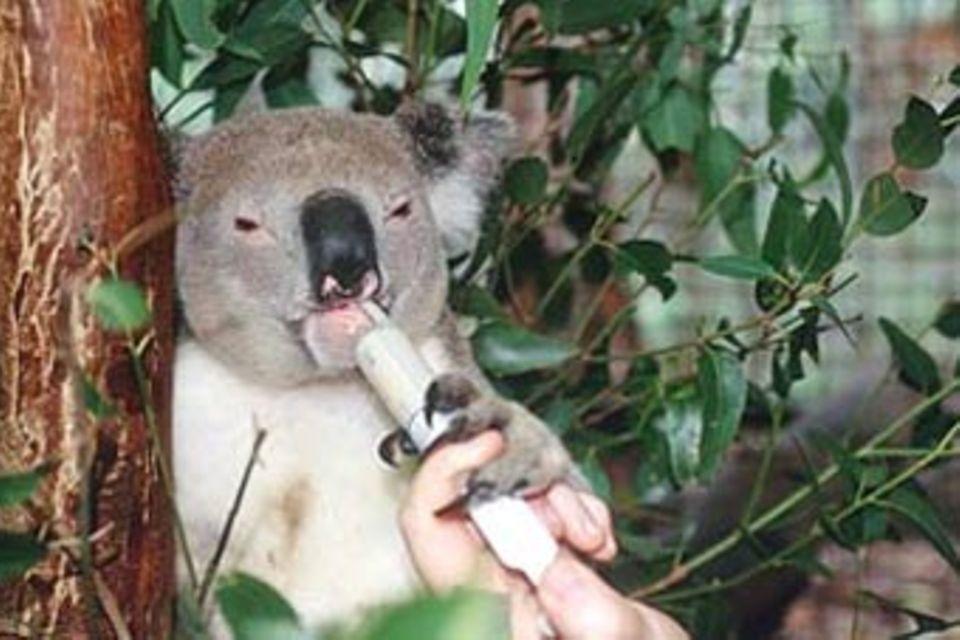 Tiere: Im Krankenhaus der Koalas
