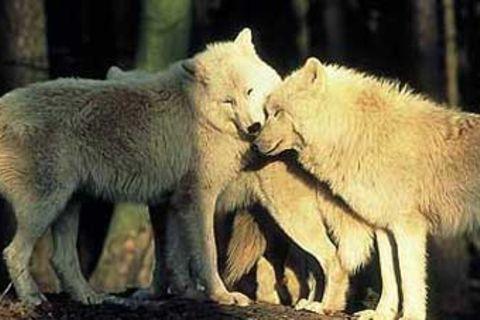Unter wilden Wölfen