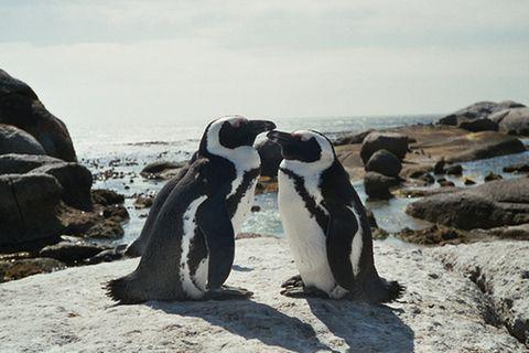 Brillenpinguine: Die Pinguinretter