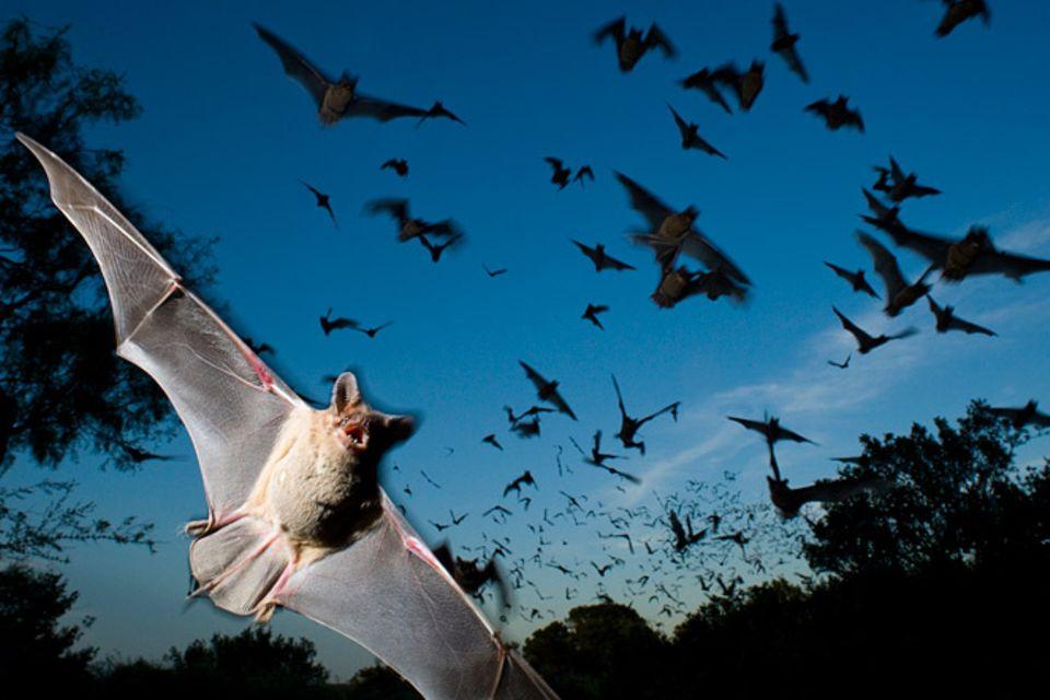 Tiere: Auf der Spur der Fledermäuse