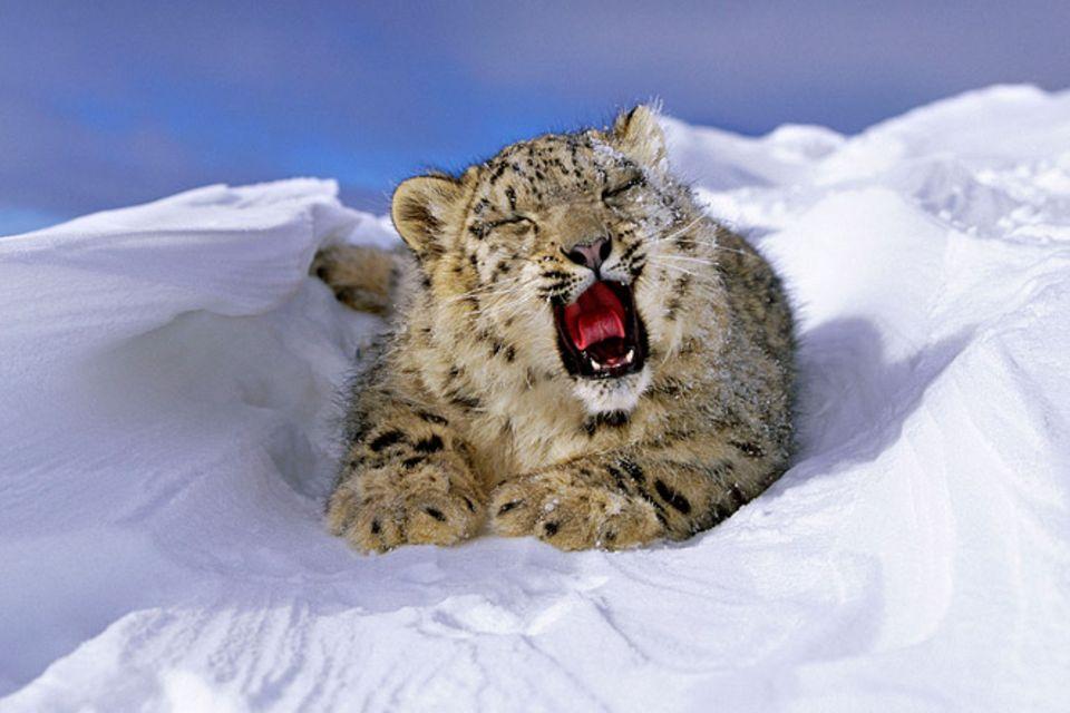 Tierschutz: Geister der Berge: Schneeleoparden