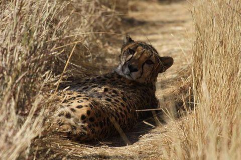 Tierschutz: Fotostrecke: Gefährdete Geparden