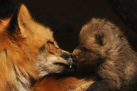 Wildtiere: Wieso Füchse zu Unrecht gejagt werden