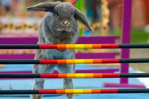 Kaninchenturnier: Auf die Pfoten, fertig, hopp!