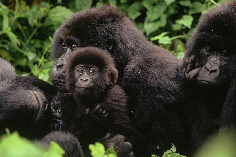Affen: Berggorillas: Es werden wieder mehr