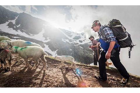 Mit 2000 Schafen über die Alpen