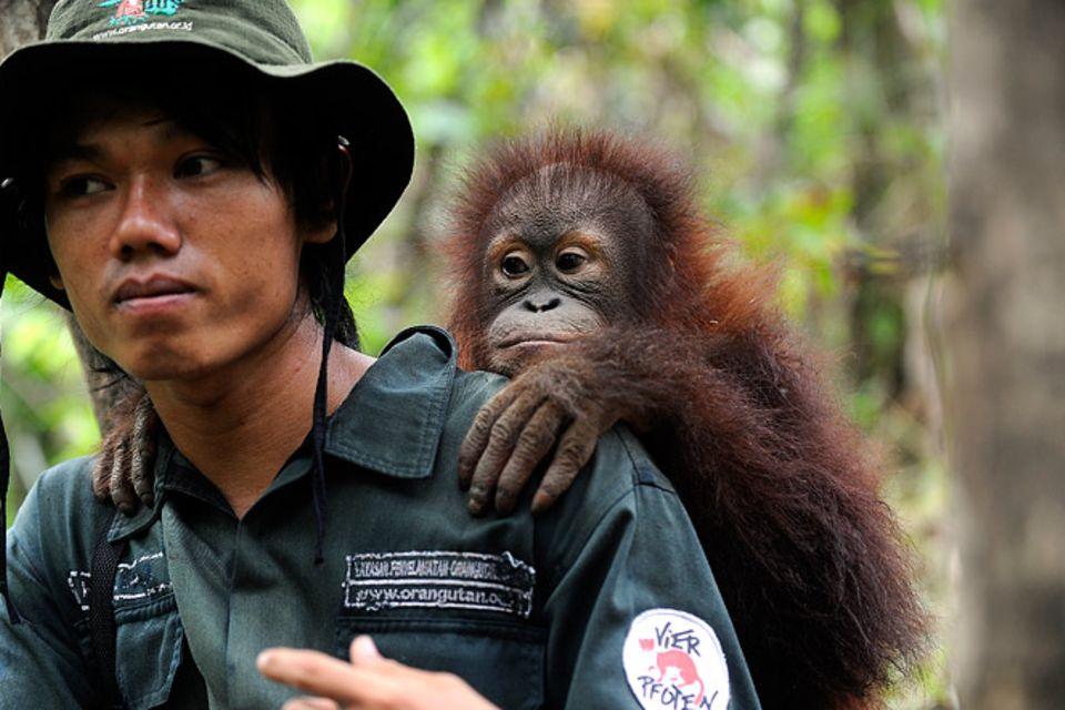 Tierschutz: Orang-Utans: Zurück in die Freiheit