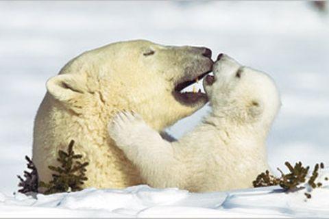 Fotostrecke Eisbären: Familienglück im Schnee
