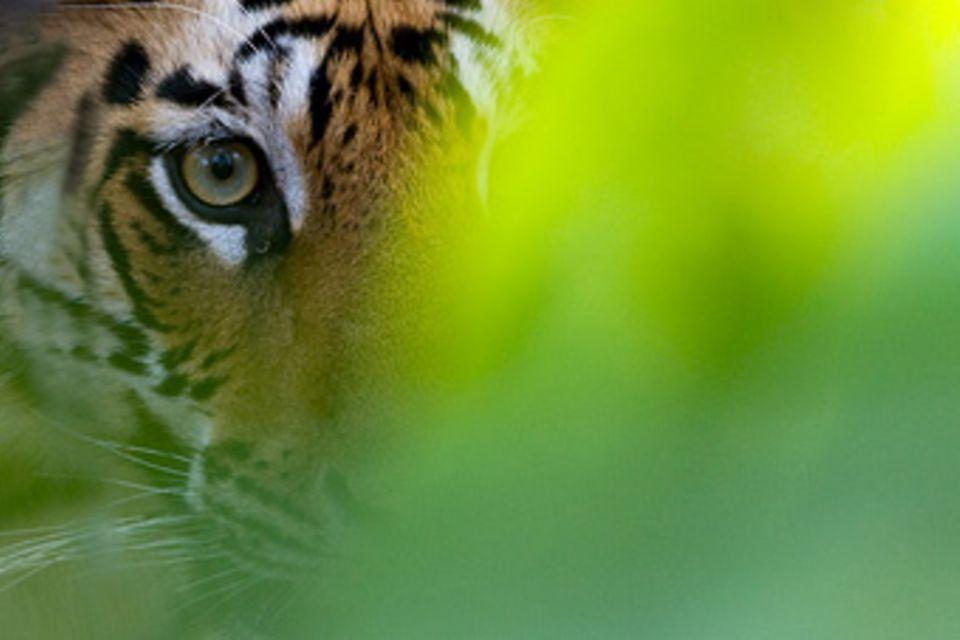 Fotogalerie: Indischer Tiger - König des Dschungels