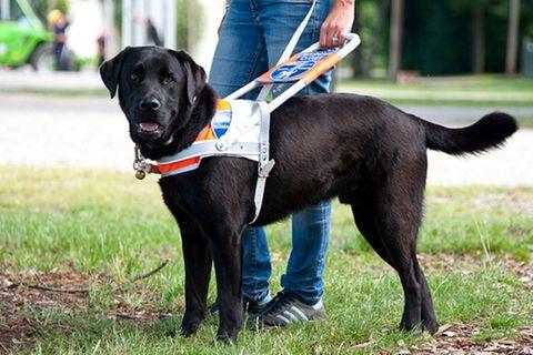 Hunde: Blindenhunde: Gespann mit guter Führung