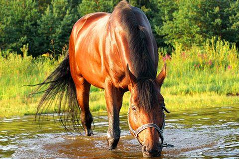 Redewendung: Saufen wie ein Pferd