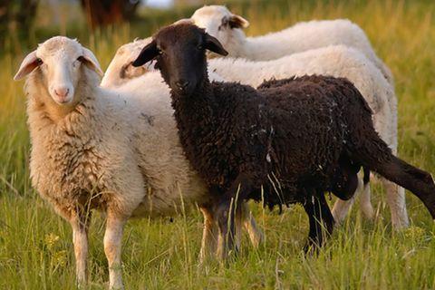 Redewendung: Das schwarze Schaf sein