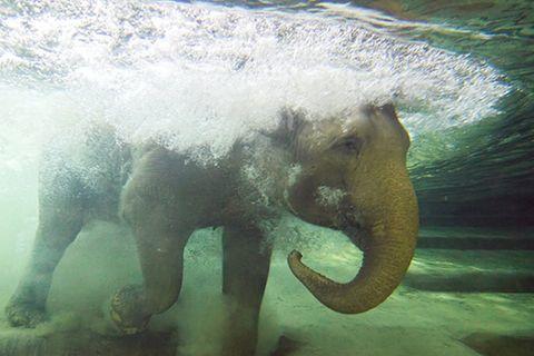 Redewendung: Ein Gedächtnis wie ein Elefant haben