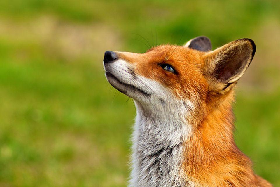 Redewendung: Dem Fuchs hängen die Trauben zu hoch