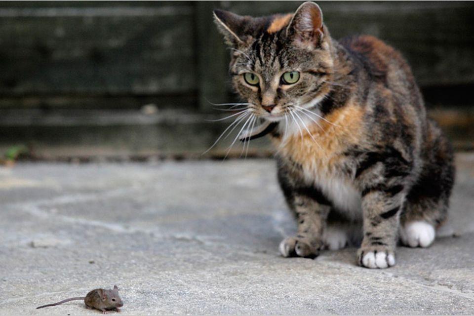 Redewendung: Die Katze lässt das Mausen nicht