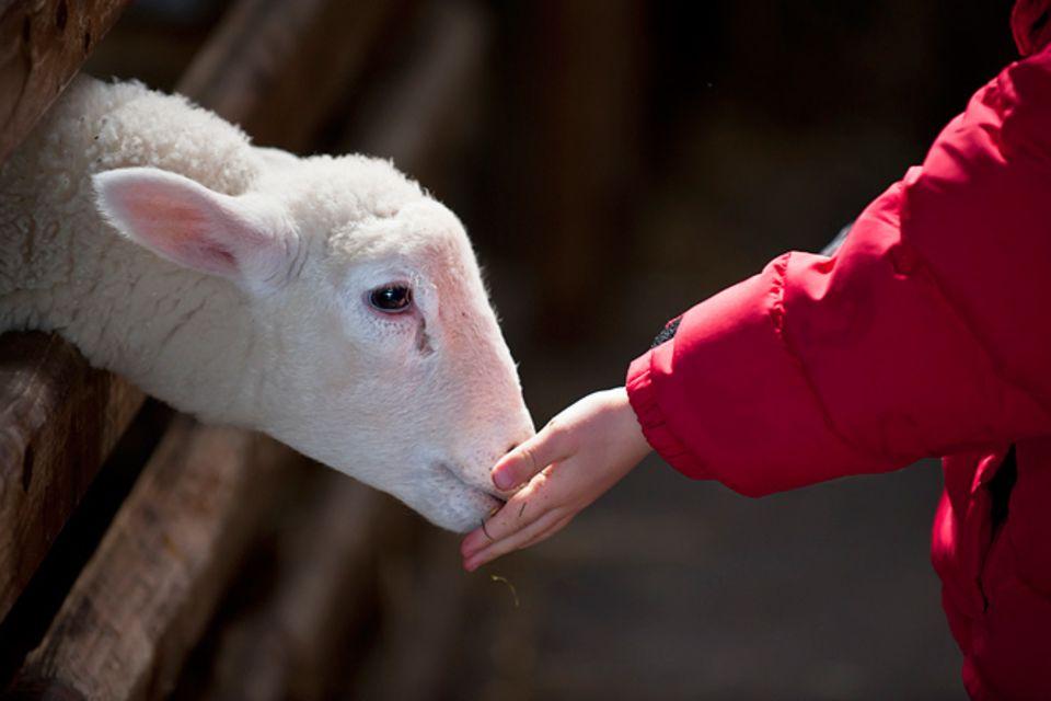 Redewendung: Wie ein Lamm, das zur Schlachtbank geführt wird