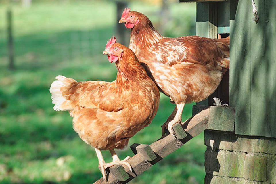 Redewendung: Da lachen ja die Hühner