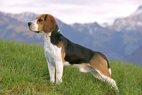Redewendung: Aufpassen wie ein Schießhund