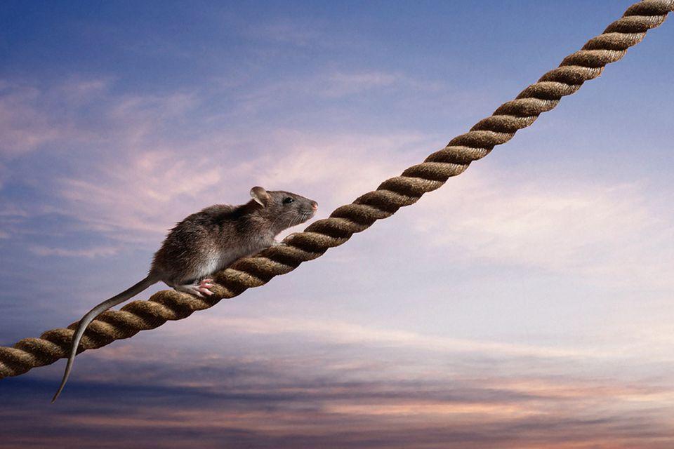 Redewendung: Die Ratten verlassen das sinkende Schiff