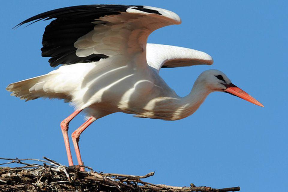 Redewendung: Da brat mir einer einen Storch