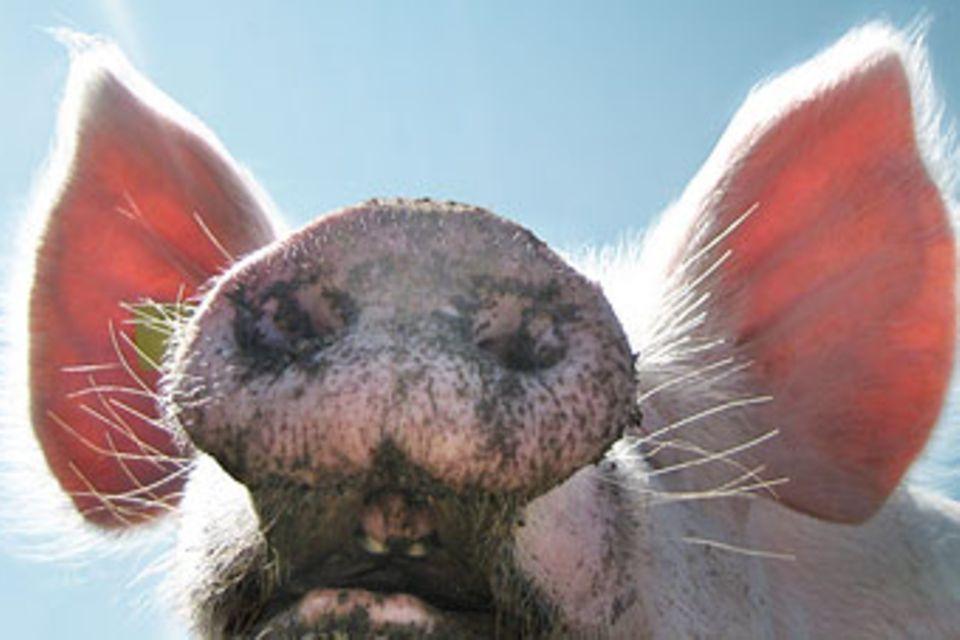 Redewendung: Mein Schwein pfeift!