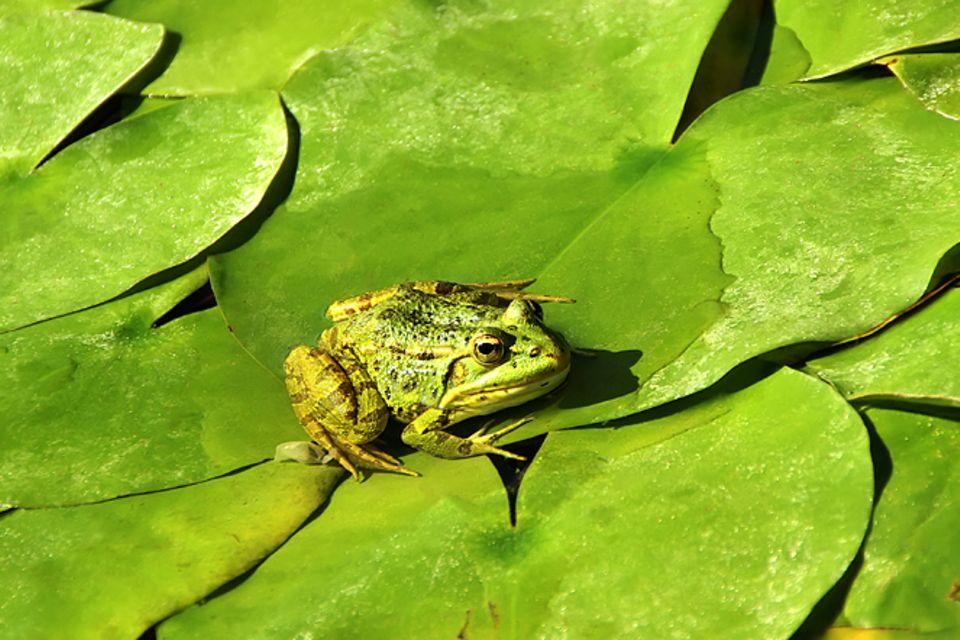 Redewendung: Frosch im Hals