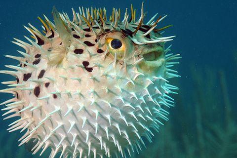 Tierlexikon: Igelfisch