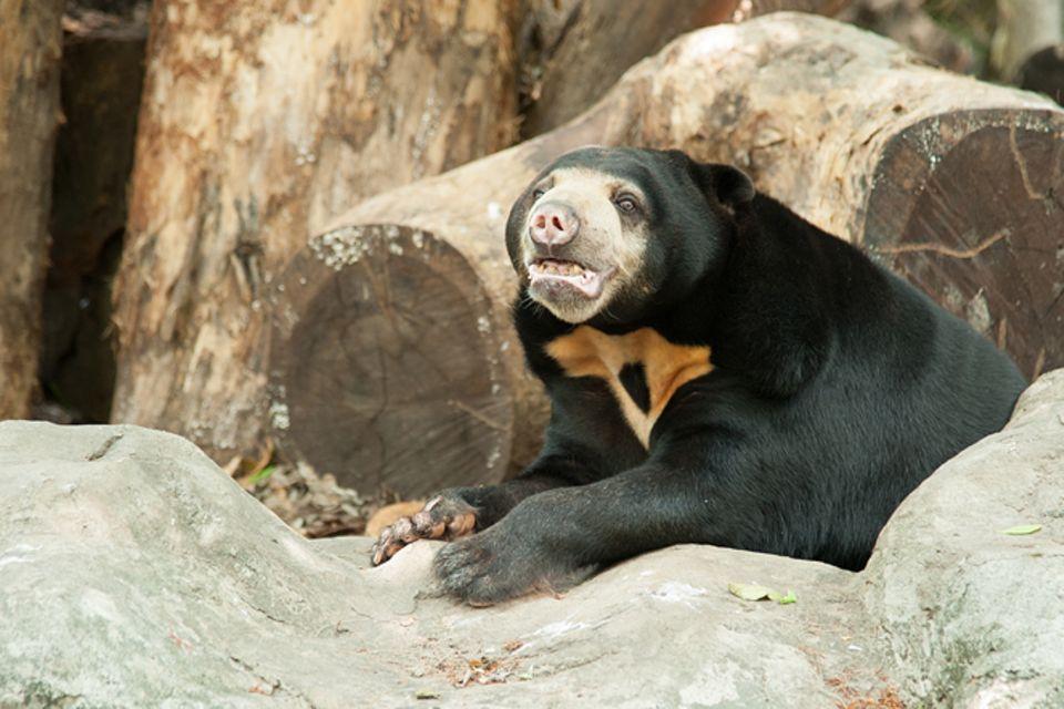Tierlexikon: Malaienbär